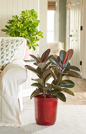Ficus 'Burgundy' in living room