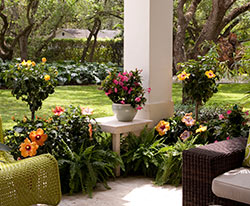 Patio with Tropic Escape hibiscus and mandevilla