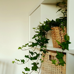 Plant Rx: 5 Tips for Raising English Ivy Indoors | Costa Farms on common plants used in baskets florist, common house plant problems, common household plants, round leaves with ivy, variegated ivy, common names of indoor plants, hedera glacier ivy,