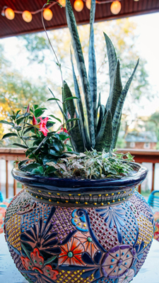 Take Your Snake Plant Outside Costa Farms