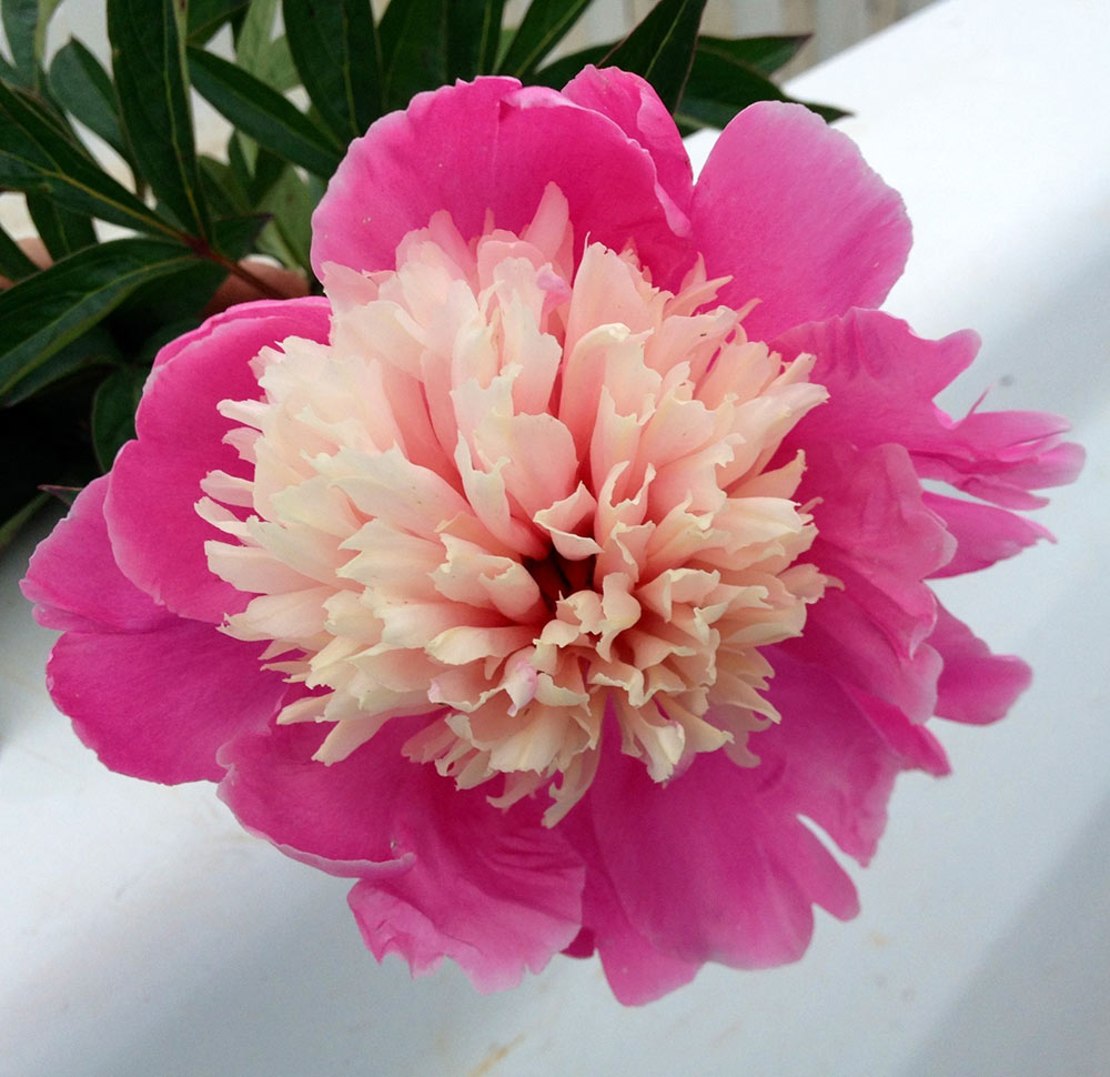 14 sun loving perennials anyone can grow costa farms peony mightylinksfo
