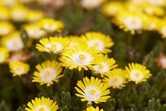 Create a carpet of color in your yard with groundcovers costa farms ice plant mightylinksfo