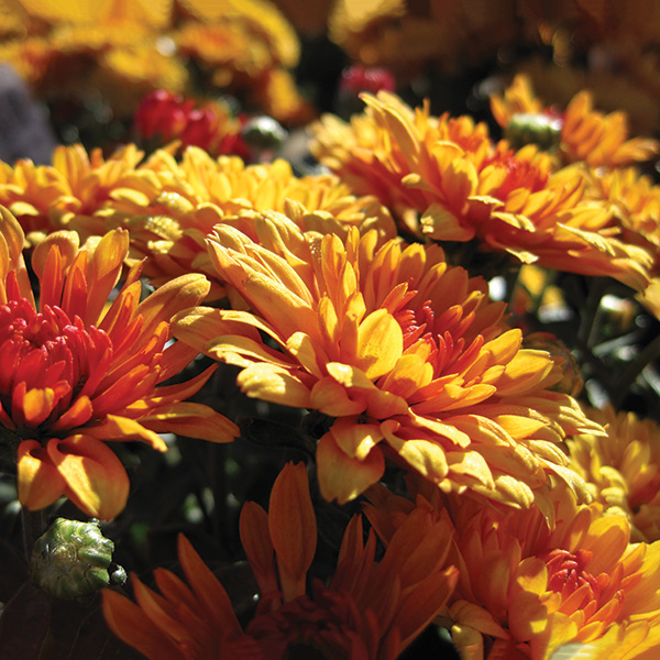 12 Spectacular Annual Fall Flowers Costa Farms