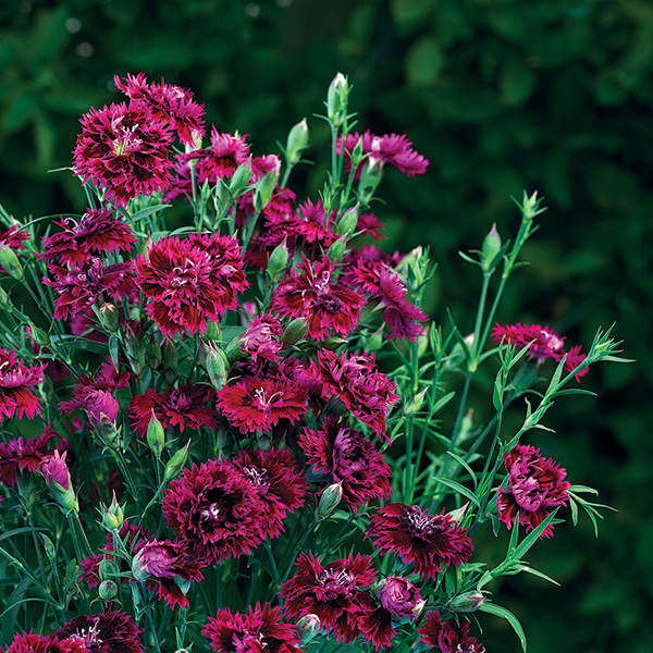 12 spectacular annual fall flowers costa farms dianthus mightylinksfo