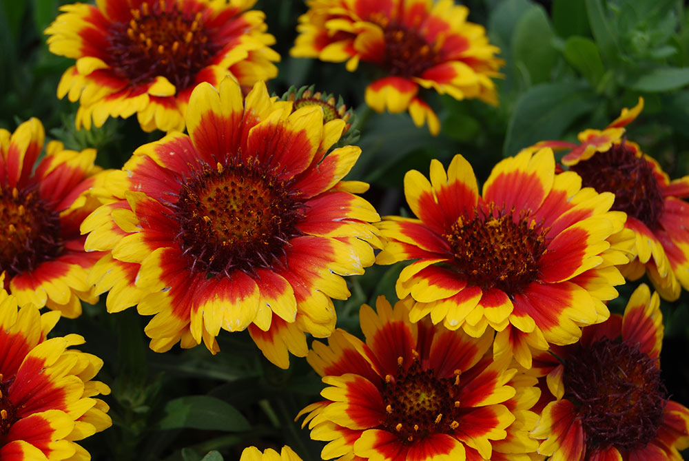 14 sun loving perennials anyone can grow costa farms blanket flower mightylinksfo