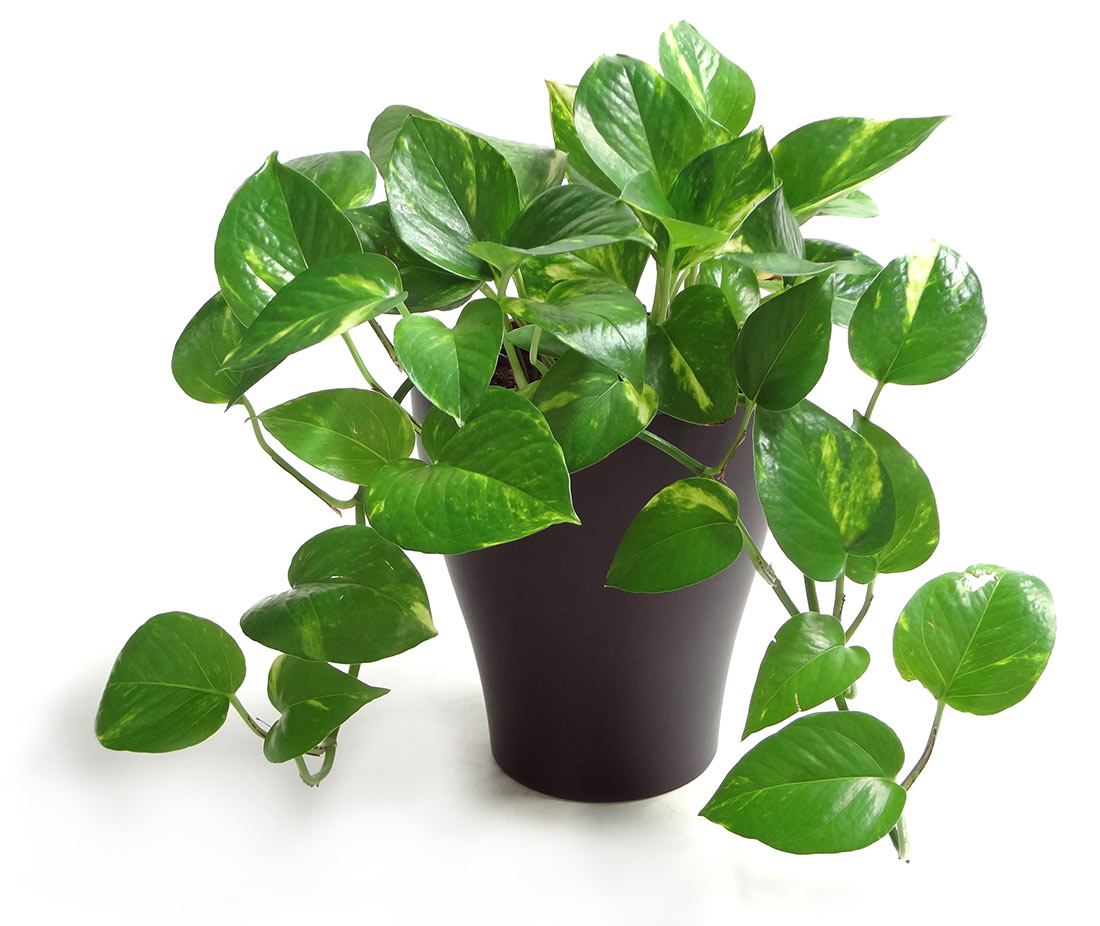 Most popular houseplants costa farms for Easy to grow houseplants