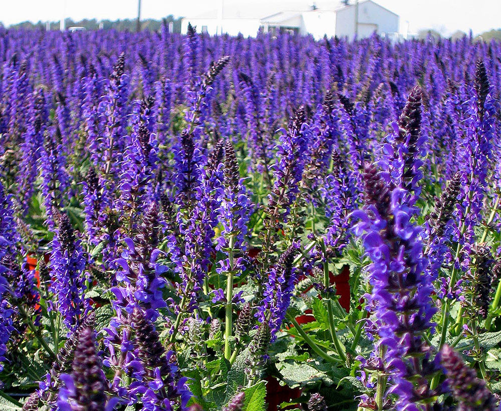 14 Sun Loving Perennials Anyone Can Grow Costa Farms
