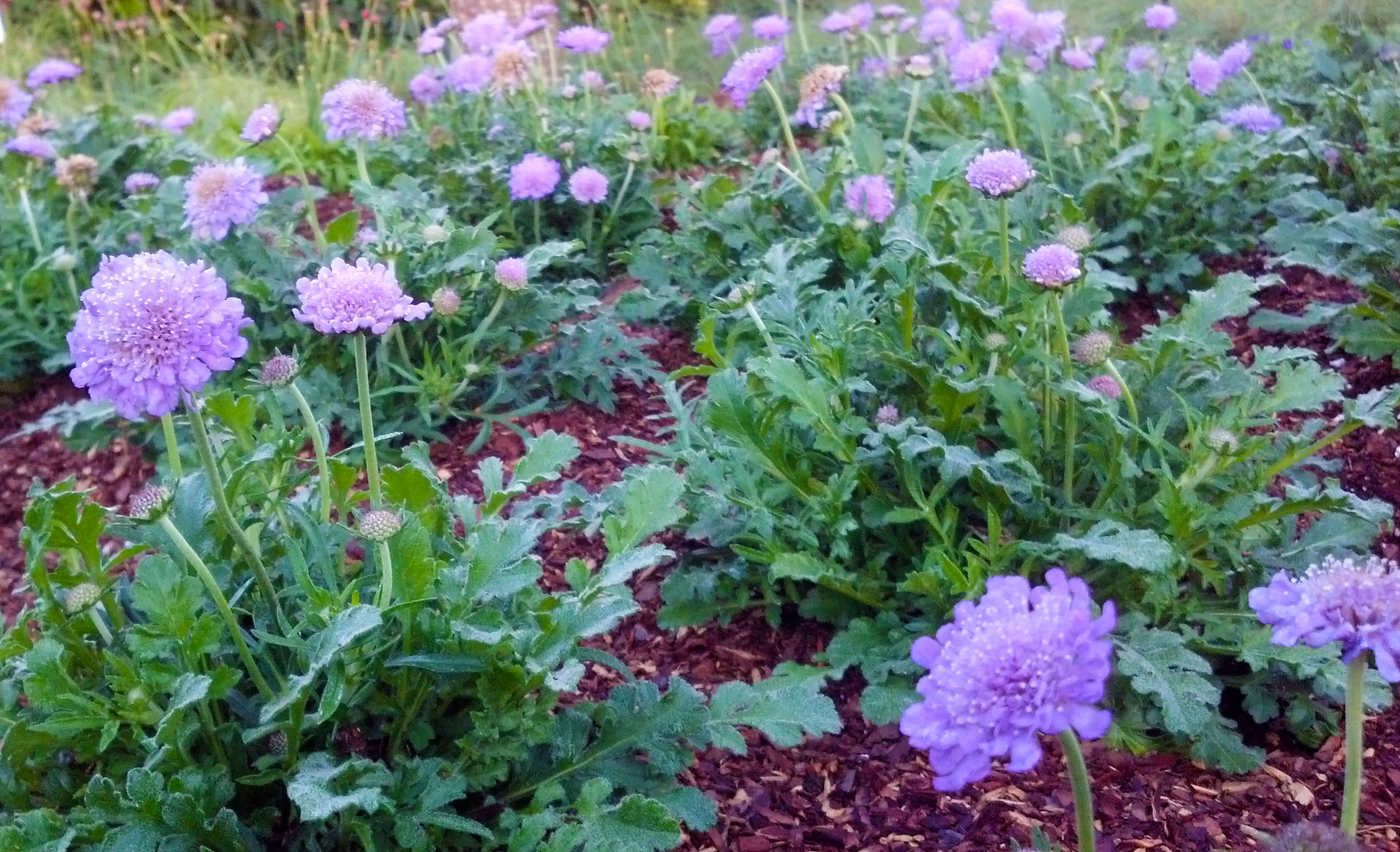 Reblooming Perennials For Months Of Color Costa Farms