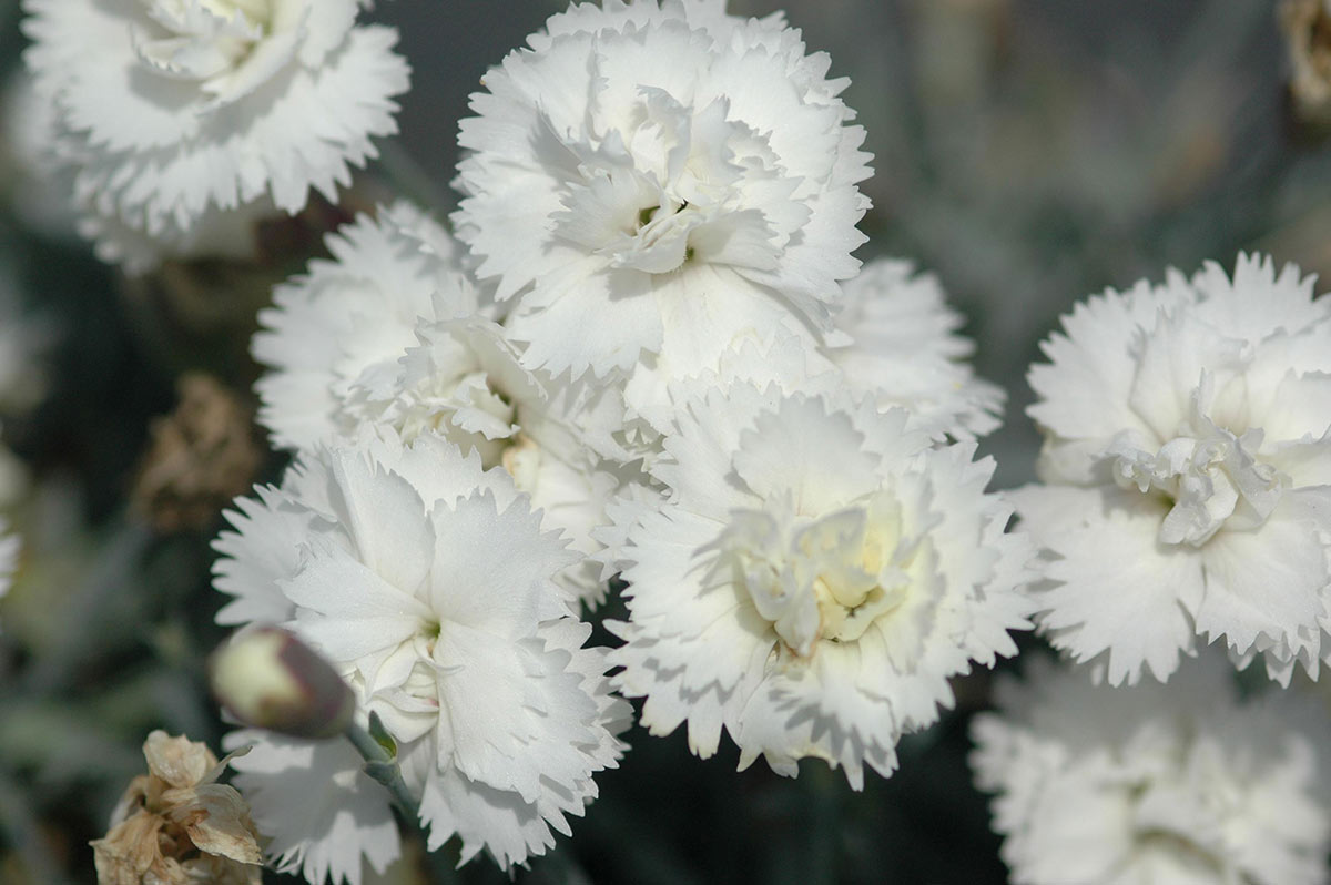 Create a carpet of color in your yard with groundcovers costa farms dianthus mightylinksfo