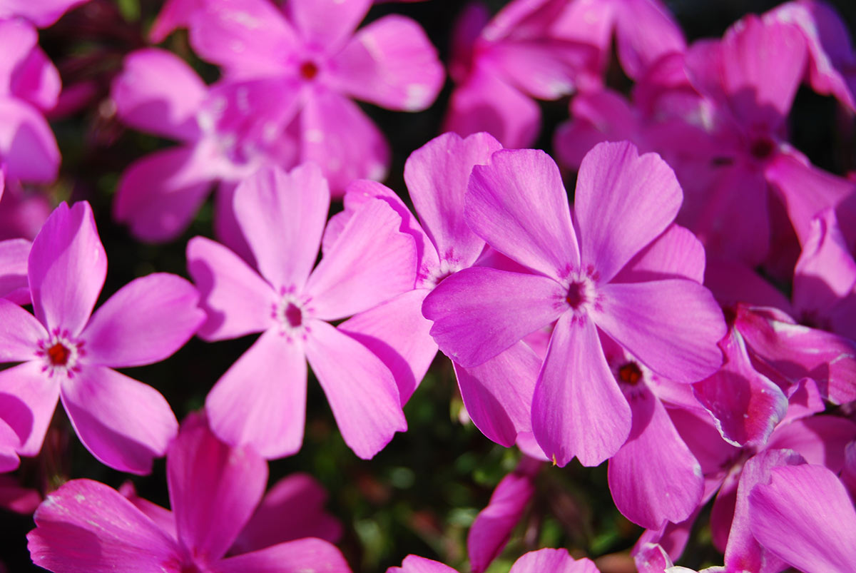 Create a carpet of color in your yard with groundcovers costa farms creeping phlox mightylinksfo