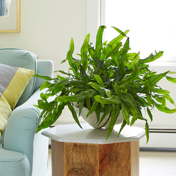 interesting fern house plants. Tie in Fun Containers  Another way to incorporate houseplants Decorate Your Home with Exotic Angel Plants Costa Farms