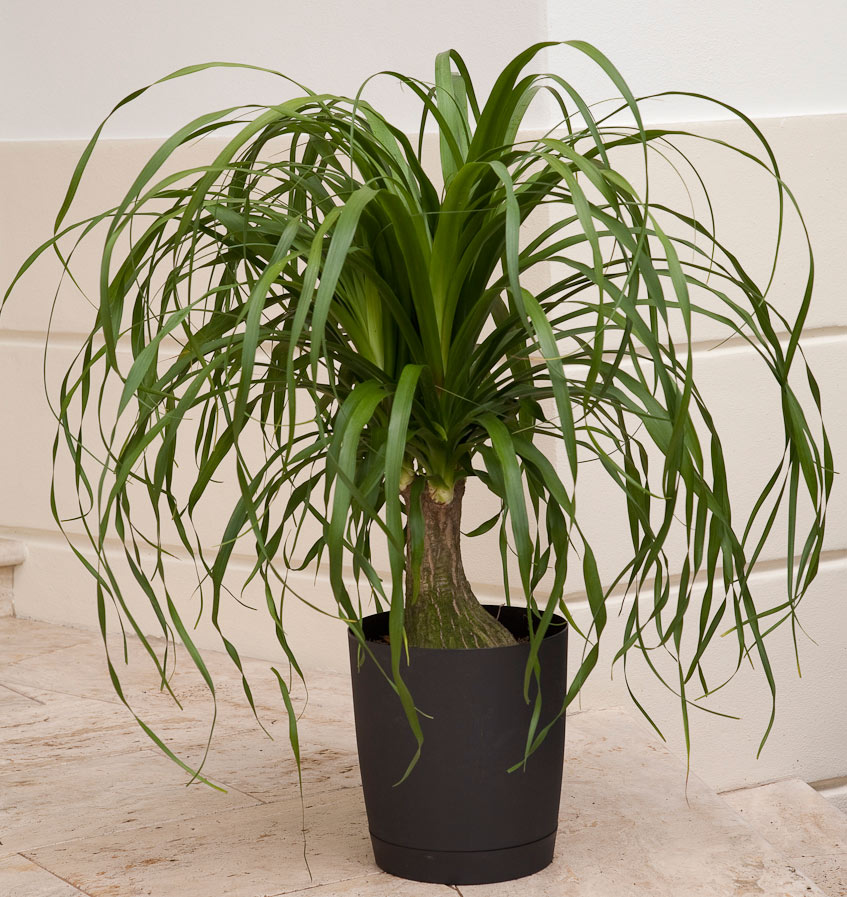 stunning ponytail palm cats images best inspiration home