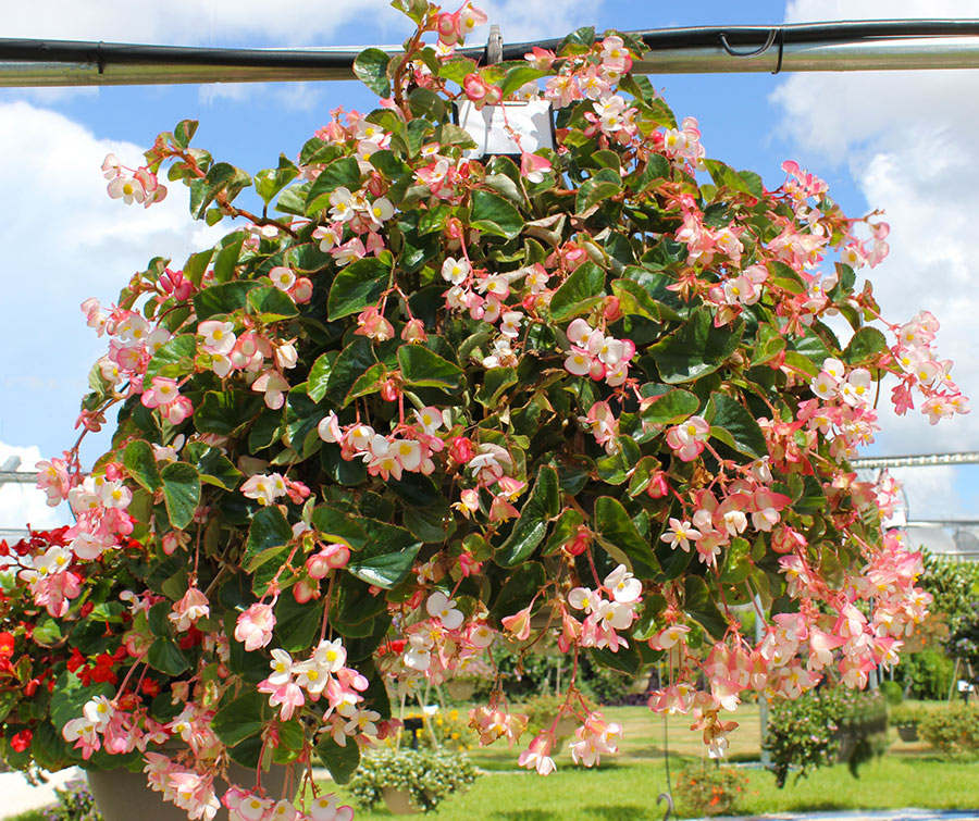 Begonia One of the easiest plants