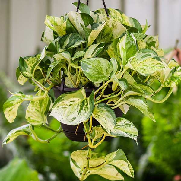 flowering house plants pictures manjula pothos - House Plant Identification Guide By Picture