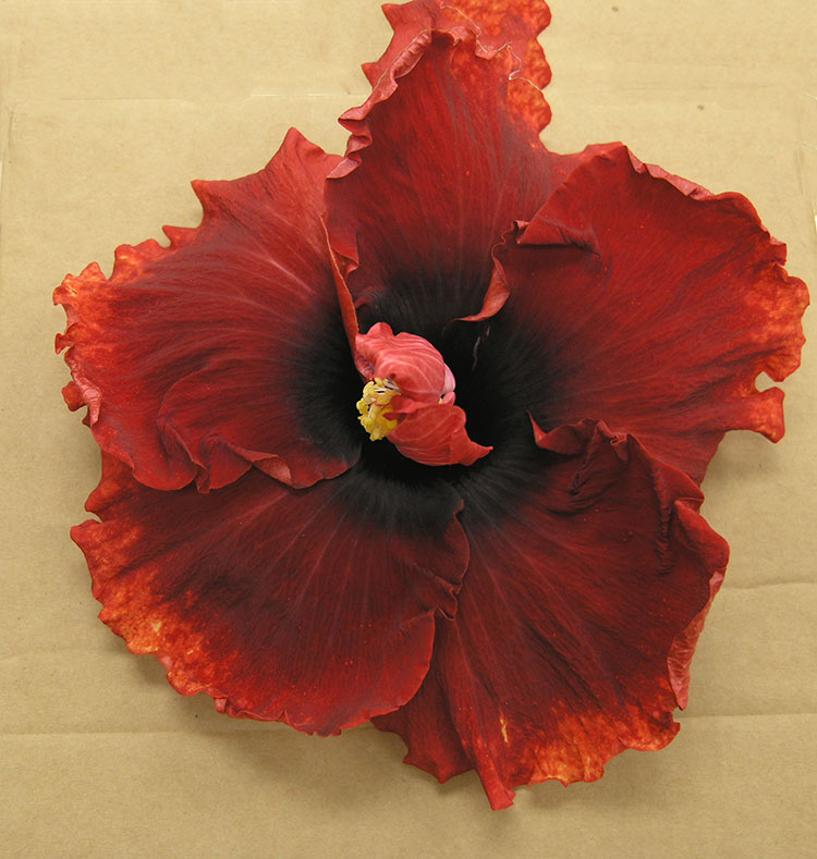 how to get an hibiscus