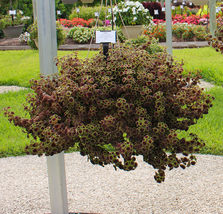 Flower Varieties For Hanging Baskets : Hanging baskets ideas costa farms