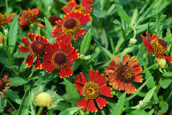 10 Perennials For Late Summer And Fall Color Costa Farms