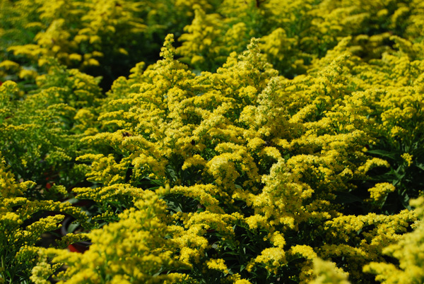 10 perennials for late summer and fall color costa farms goldenrod mightylinksfo