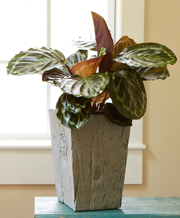 Easy to Grow Houseplants with Colorful Leaves | Costa Farms Red Foliage Houseplants on red foliage flowers, red foliage bushes, red foliage grasses, red foliage annuals, red foliage hibiscus, common indoor houseplants, red foliage plants, red and green houseplants, red foliage perennials, red flowering houseplants, red foliage vines,