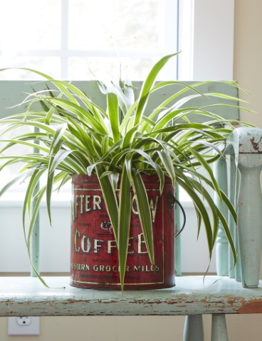 Spider Plant 10 Best Low Water Houseplants  Costa Farms