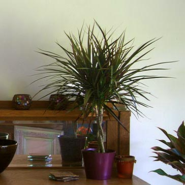 Use Houseplants to Decorate for Fall   Costa Farms on tropical house plants, beach house plants, blue house plants, plants house plants, prehistoric house plants, river house plants, dessert house plants, fruit house plants, cactus house plants, desert yucca plant, sunset house plants, lake house plants, california house plants, desert plant identification, prairie house plants, forest house plants, jungle house plants, alpine house plants, coffee house plants, black house plants,