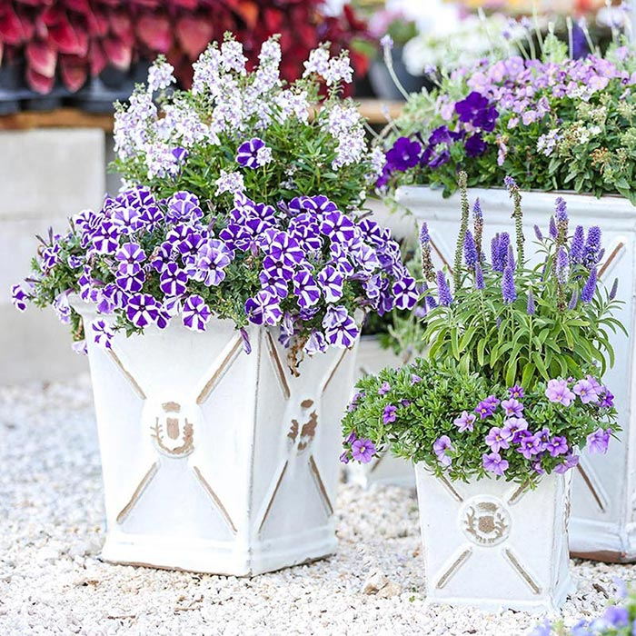 Image result for Lavender in container