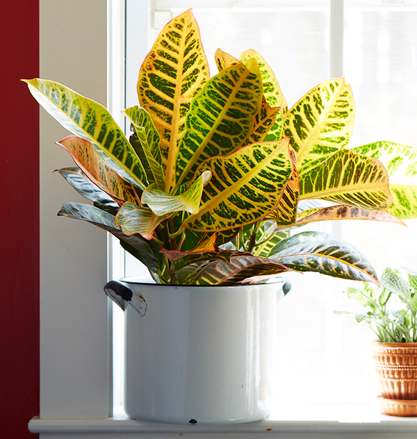 Easy to grow houseplants with colorful leaves costa farms for Easy to grow houseplants