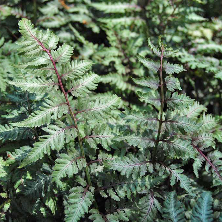 Easy perennials for shade costa farms japanese painted fern izmirmasajfo