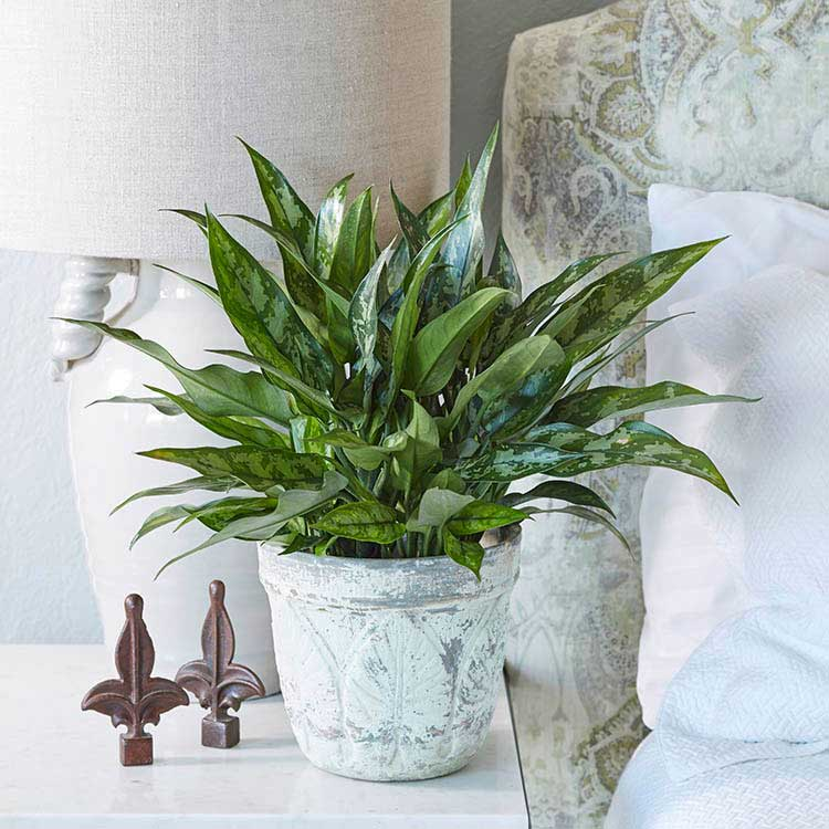 Low maintenance houseplants you ll love costa farms for Low water indoor plants