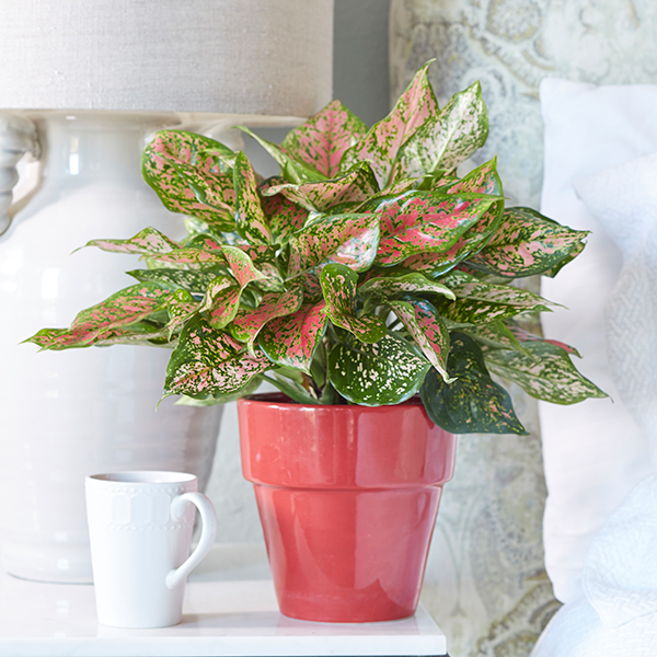 Easy to Grow Houseplants with Colorful Leaves | Costa Farms Name Of Pink Houseplant on names of tea bags, names of plants, names of climbers, names of hibiscus, names of gifts, names of gardens, names of art, names of health, names of soil, names of corn, names of water, names of perennials, names of baskets, names of design, names of pests, names of biennials, names of greenhouses, names of wildlife, names of bromeliads, names of vines,