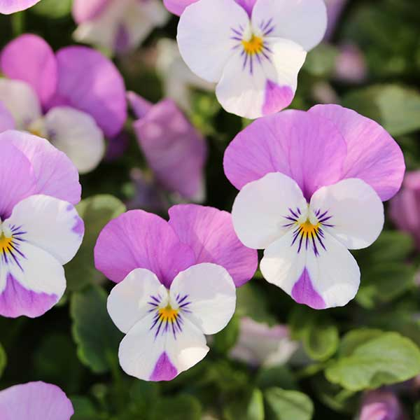 10 Easy Care Annuals Every Garden Should Have Costa Farms