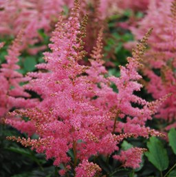 Astilbe 'Country and Western'