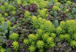Why Growing Sedum Makes Sense