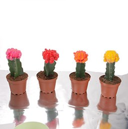 Various Species Grafted Cactus