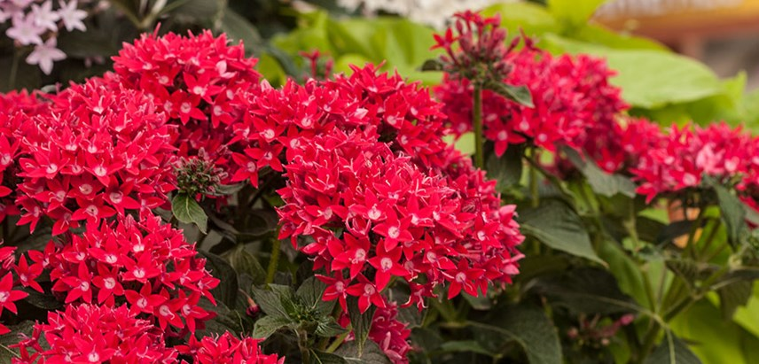 Pentas Plant: How To Care For Pentas Flower | Pentas Plant