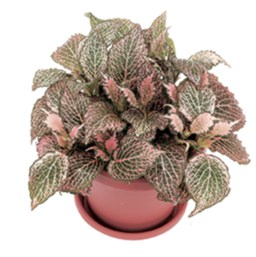 Fittonia 'Pink Star'