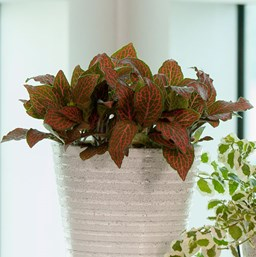 Fittonia 'Ruby Red'