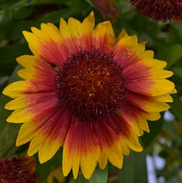 Gaillardia 'Gallo Dark Bicolor