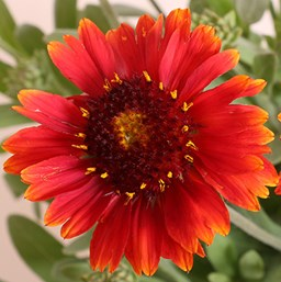 Gaillardia 'Gallo Red'
