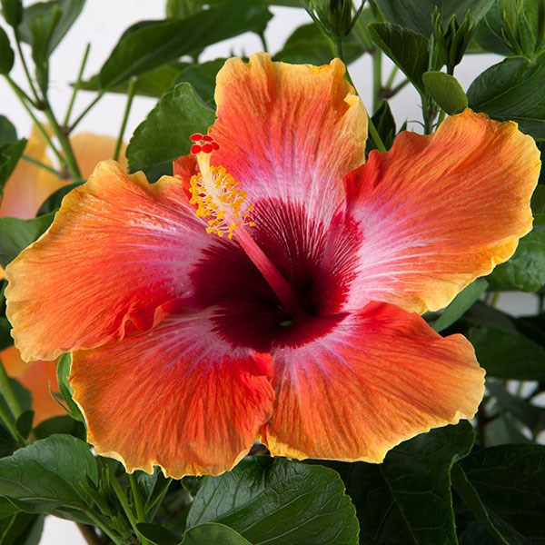 1 Hibiscus Painted Lady Tree Tropical Live Plant in plastic pot 4/'feet tall inches tall pink flower hibiscus live plant budding now
