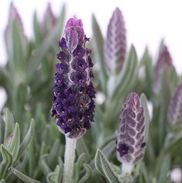 Lavandula stoechas 'Luxurious'