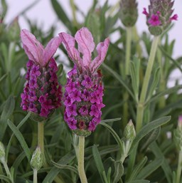 Lavandula stoechas 'With Love'