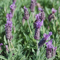 Lavandula stoechas 'Winter Lace'