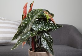 The Tall Growth Habit of Polka Dot Begonia