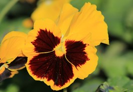 Perfect Pansies