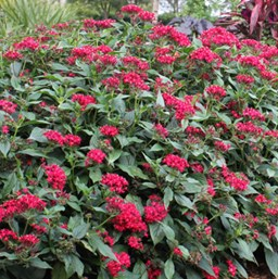 Pentas 'Graffiti Red Lace'