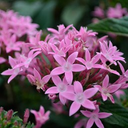 Pentas 'Honey Cluster Pink'