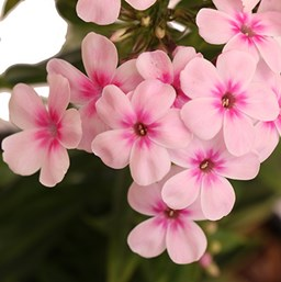 Phlox paniculata 'Flame Light Pink'