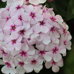 Phlox paniculata 'Flame White Eye'