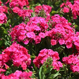 Phlox paniculata 'Peacock Cherry Red'